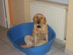 Chien Abysse - Labrador Femelle (4 mois)