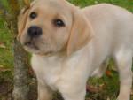 Chien Chiot labrador - Labrador Femelle (6 mois)