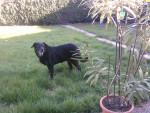 Chien Ruby - Labrador Femelle (10 ans)