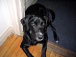 Chien Alma - Labrador Femelle (2 ans)