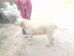 Chien anis - Labrador Femelle (5 ans)