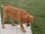 Chien denver - Labrador Mâle (11 mois)