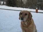 Chien Maya - Labrador Femelle (10 ans)