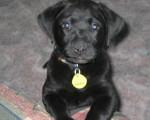 Chien woofi - Labrador Mâle (3 mois)