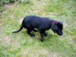 Chien Jasper - Labrador Mâle (11 mois)