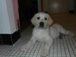 Chien Xeros/ 13 avril 2012 - Labrador Femelle (2 mois)