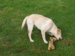 Chien Diaoulig - Labrador Mâle (2 ans)