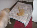 Chien My Lab Weetbix and my Cat Koba - Labrador Mâle (12 ans)