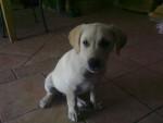 Chien Tin - Labrador Mâle (2 ans)