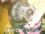 Chien Ambar Luna - Labrador Femelle (1 an)