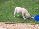 Chien Imogen - Labrador Femelle (6 mois)