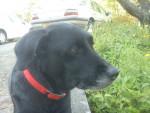 Chien Roxane - Labrador Femelle (8 ans)