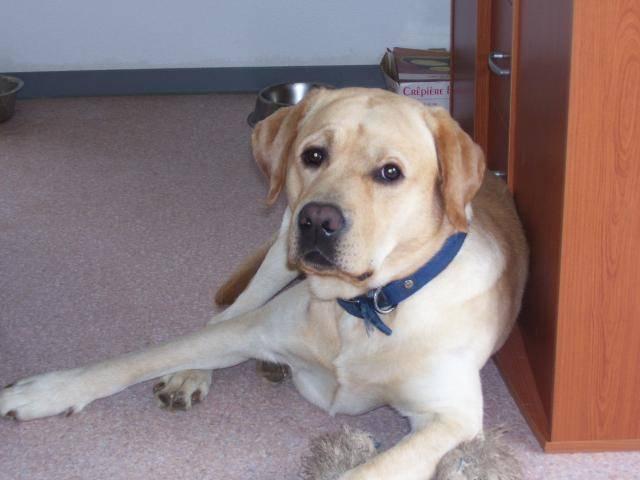 Chien BOUBA ,labrador - Labrador  (0 mois)