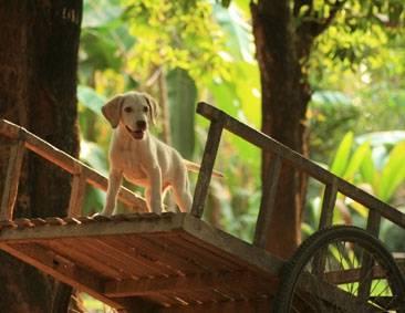 Chien Sid Labrador - Labrador  (0 mois)