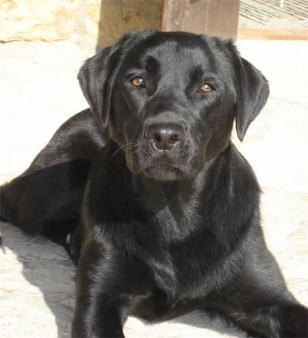 Photo Trop Beau Labador Noir!! : Labrador Retriever