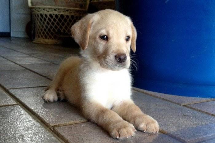 Photo Haavei : mâle 1 mois et demi Labrador crème