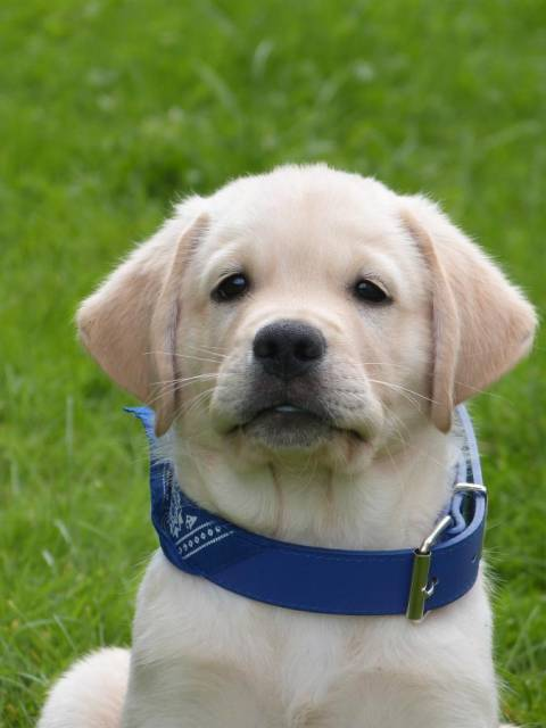 Assez Photo bébé jango à 2 mois : Labrador Retriever (2 mois) CF99