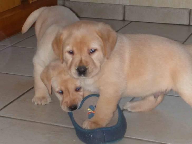 Chien  - Labrador  (0 mois)