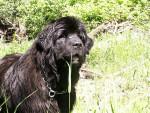 Chien Ursa-Major de la Baie Blanche à 5 ans - Terre Neuve  (5 ans)