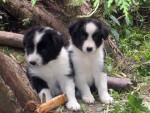 Chien deux beaux chiots - Terre Neuve Femelle (0 mois)