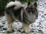 Chien Shiro - Spitz Loup Mâle (12 ans)
