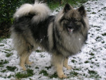 Chien Shiro - Spitz Loup Femelle (13 ans)