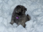 Chien keeshond,Maïla   - Spitz Loup Femelle (0 mois)
