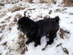 Chien Parker - Patterdale Terrier Mâle (0 mois)