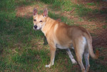 Chien  - Carolina Dog  (0 mois)