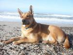 Chien  - Carolina Dog Femelle (0 mois)