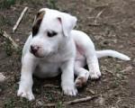 Chien baby pitbull - Pitbull Femelle (3 mois)