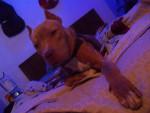 Chien Roco! - Pitbull Mâle (1 an)
