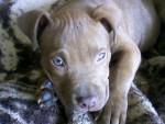 Chien nom : Rex , race : Pit-bull - Pitbull  (0 mois)