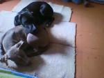 Chien luna - Pitbull Femelle (4 mois)