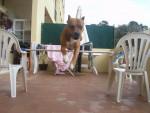 Chien tirex - Pitbull Femelle (10 ans)