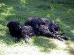 Chien Curly coated retriever - Awallis et Ayah - Retriever à poil bouclé  (0 mois)
