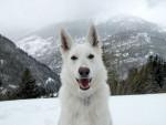 Chien Puk - Berger Blanc Suisse Femelle (2 ans)