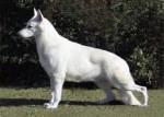 Chien guenona - Berger Blanc Suisse Femelle (6 mois)