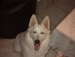 Chien Anya - Berger Blanc Suisse Femelle (2 mois)