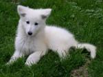 Chien IRIS - Berger Blanc Suisse Femelle (2 mois)