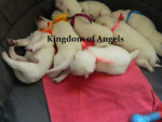Chien Cachorros del criadero Kingdom of Angels - Berger Blanc Suisse  (0 mois)