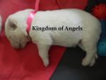 Chien Cachorro del criadero Kingdom of Angels - Berger Blanc Suisse Femelle (0 mois)