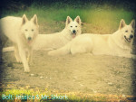 Chien Mr. Stark, Bolt & Jessica - Berger Blanc Suisse  (3 ans)