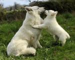 Chien F\'han of White Heroes et son bébé - Berger Blanc Suisse Femelle (0 mois)