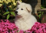 Chien KENZA, Berger Blanc Suisse 11 semaines - Berger Blanc Suisse  (0 mois)