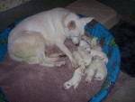 Chien Kimberly and pups - Berger Blanc Suisse Femelle (0 mois)