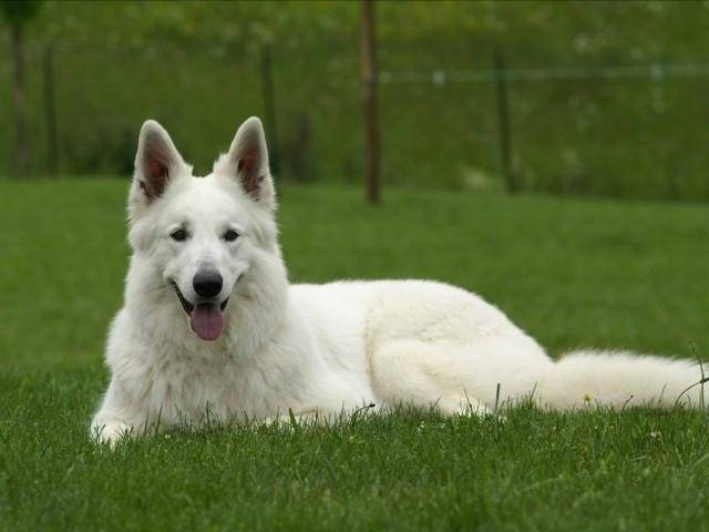 Chien Pricesse - Berger Blanc Suisse Femelle (1 mois)