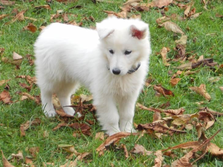 Photo da ka berger blanc suisse femelle 1 an - Race chien volt ...