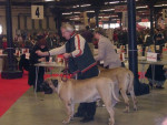 Chien Mastiff - Mastiff anglais  (0 mois)