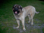 Chien rox mastiff de 5 ans - Mastiff anglais  (5 ans)